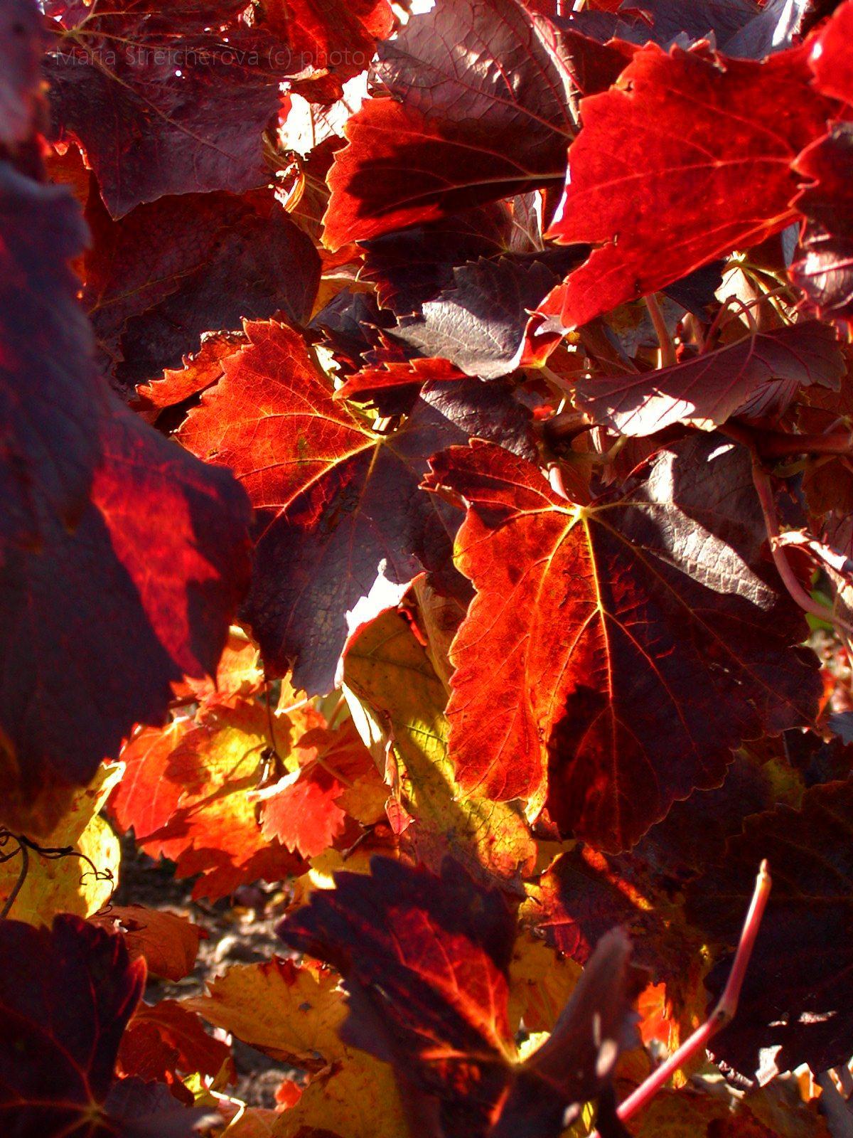 Bordovočervené a žlté listy viniča.