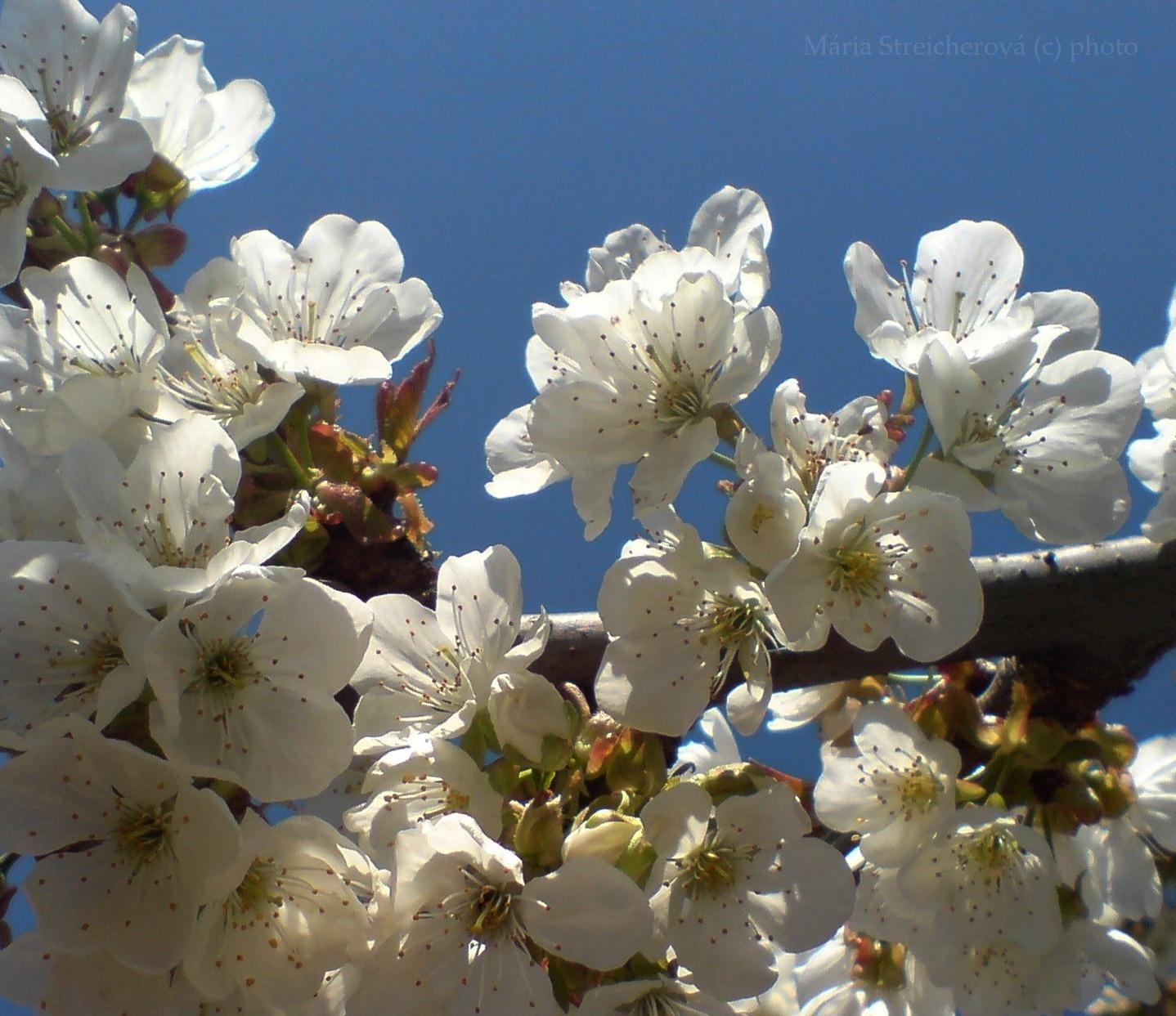 Rozkvitnutá čerešňová halúzka