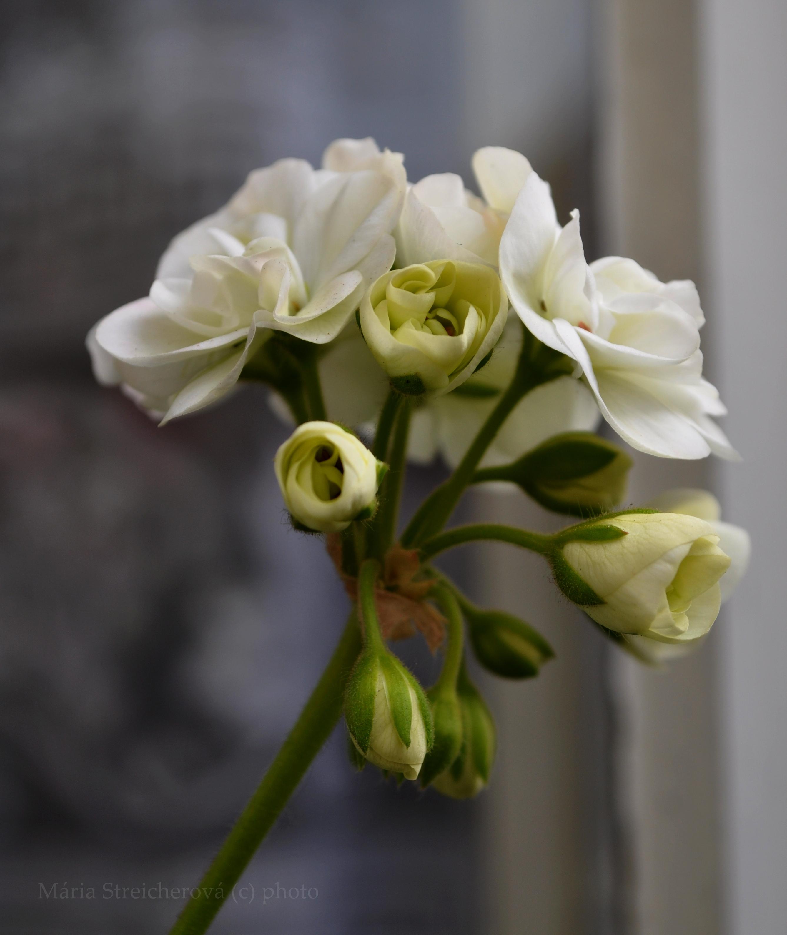 Kvet bieleho muškátu