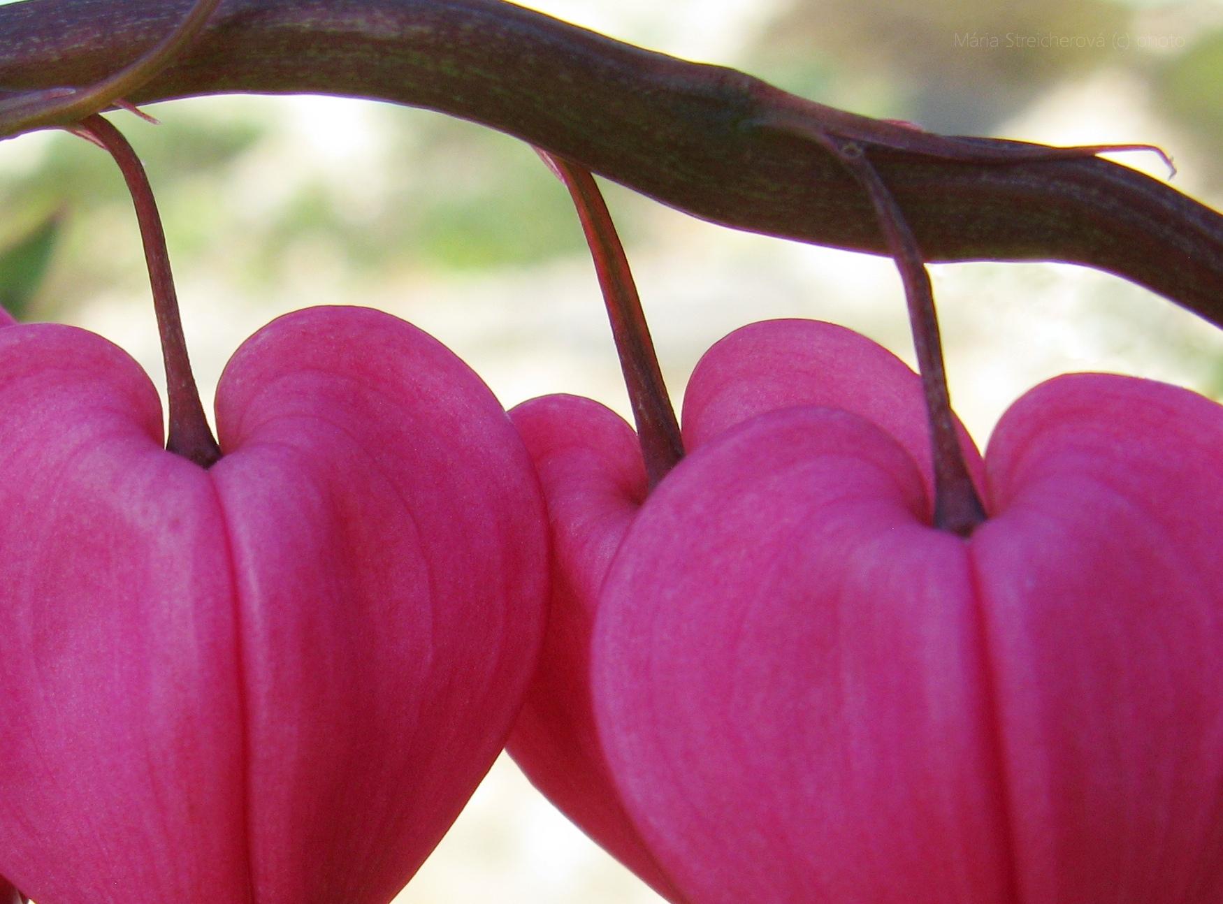 Ružové kvety v tvare srdiečok