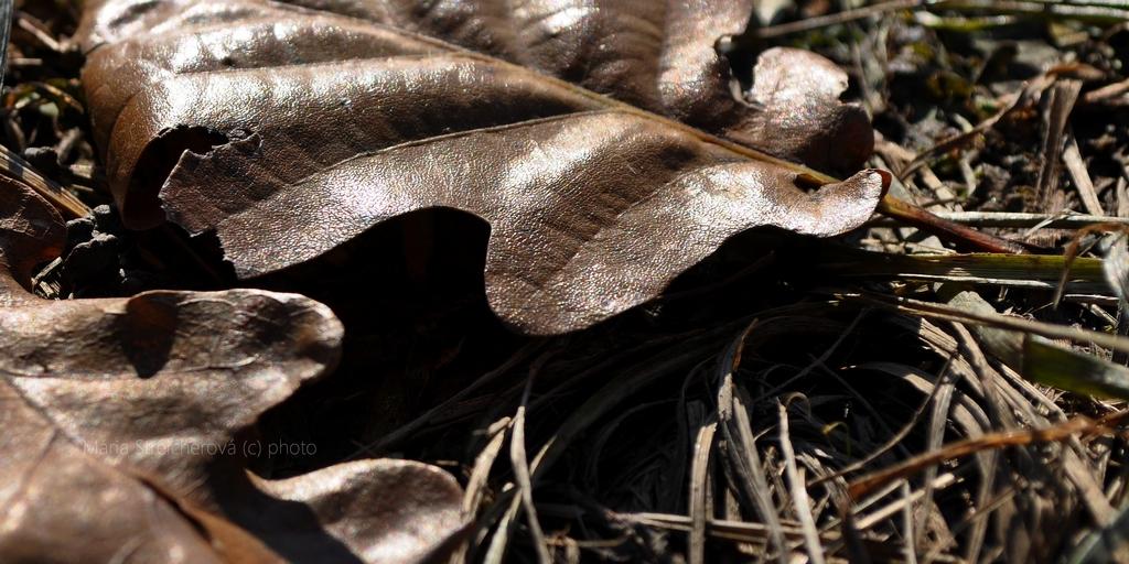 Záber suchých dubových listov padnutých na tráve. Dopadajúce slnečného svetlo na nich vytvorilo dojem tmavohnedého koženého povrchu.