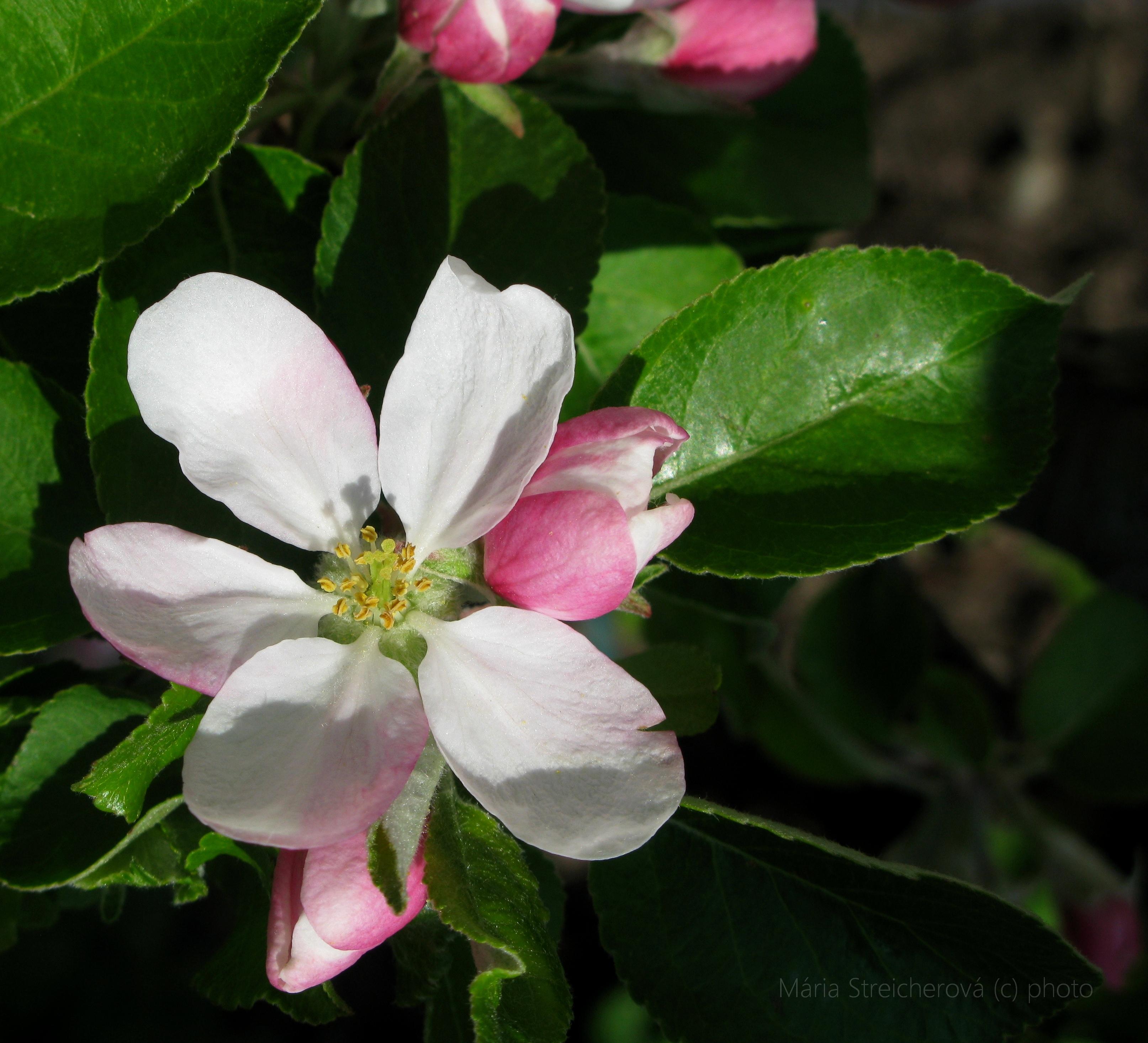 Kvety jabloní