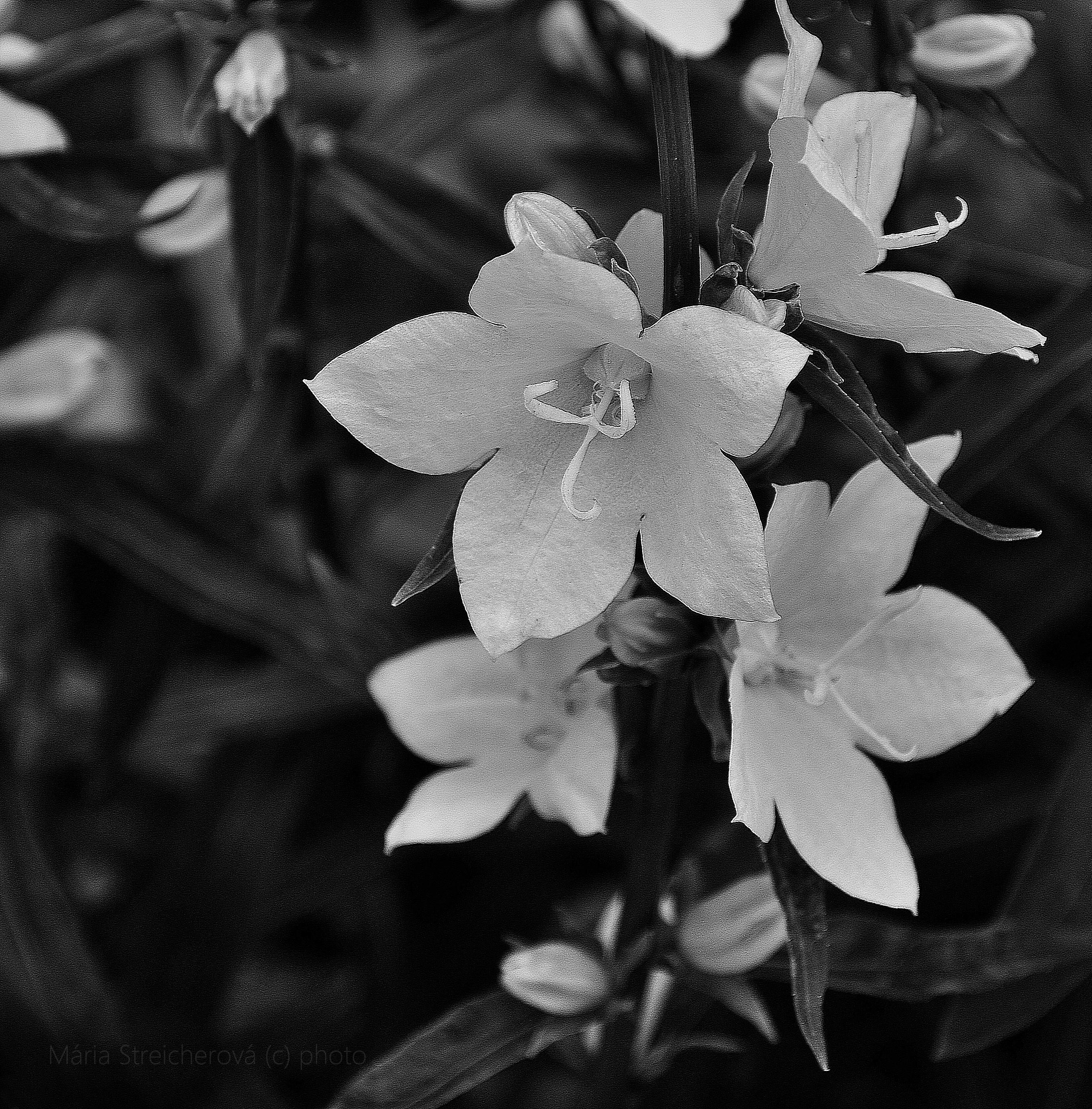 Čiernobiela fotografia bielych kvetov zvončekov, detail.