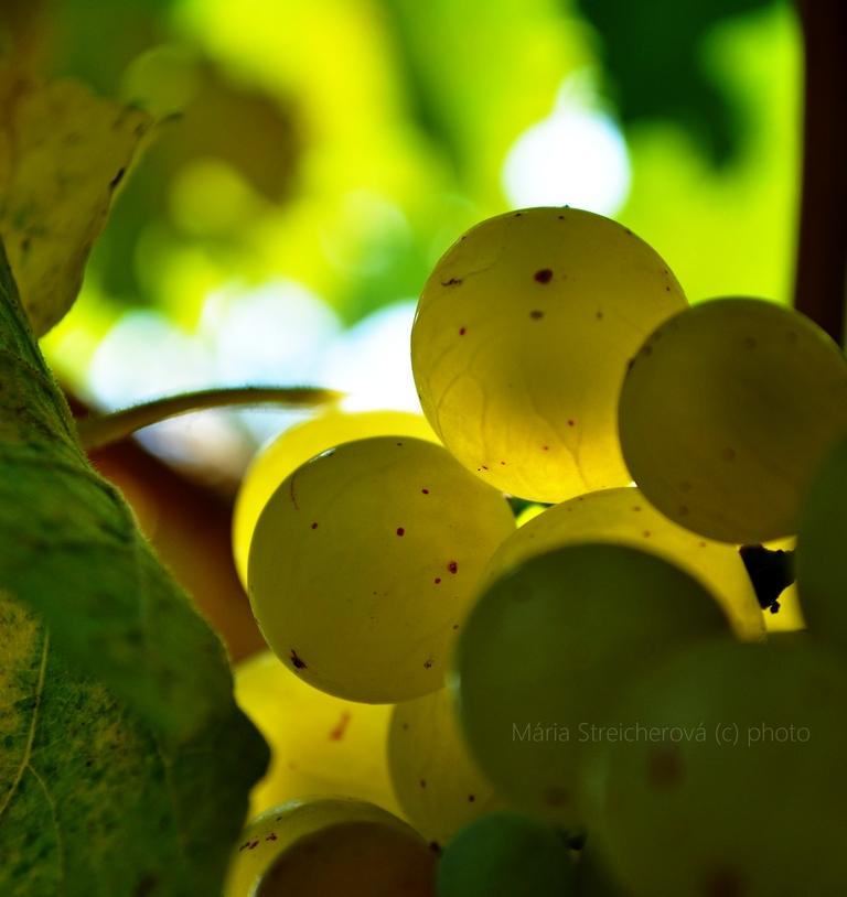 Detailný záber žltozelených bobulí dozrievajúceho hrozna na viniči.