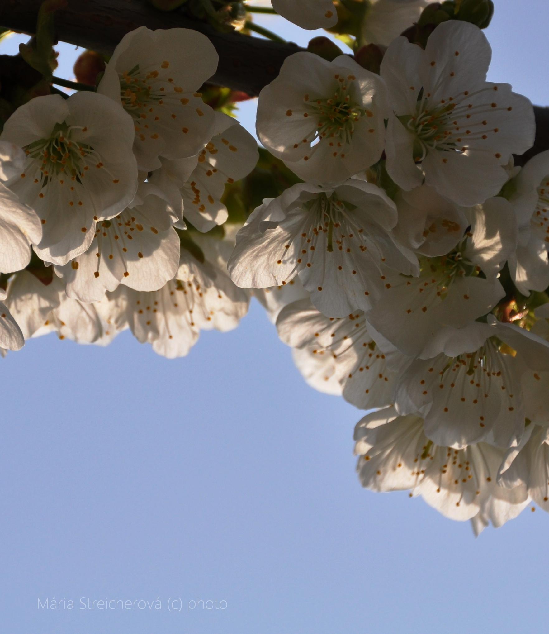Rozkvitnutá vetvička čerešňového stromu, kvitnúce čerešne