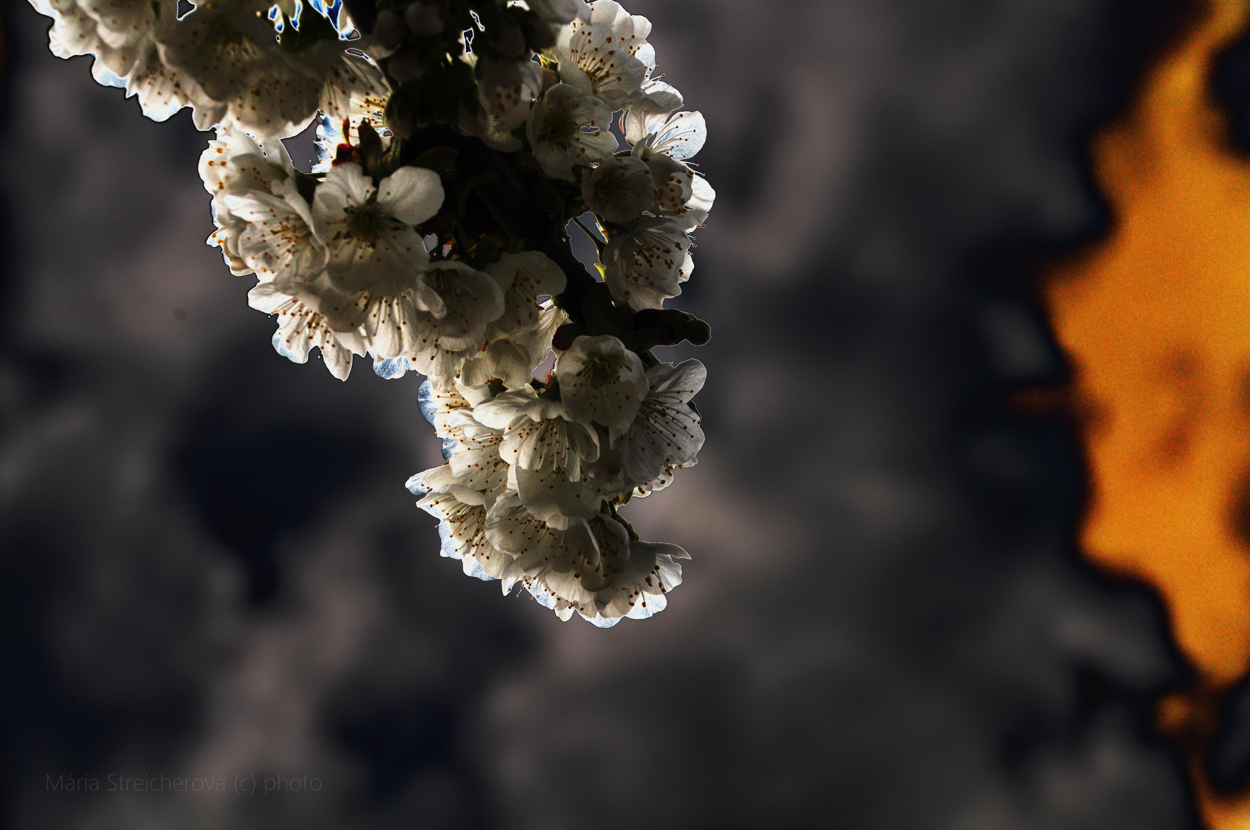 Vetvička z kvitnúceho čerešňového stromu