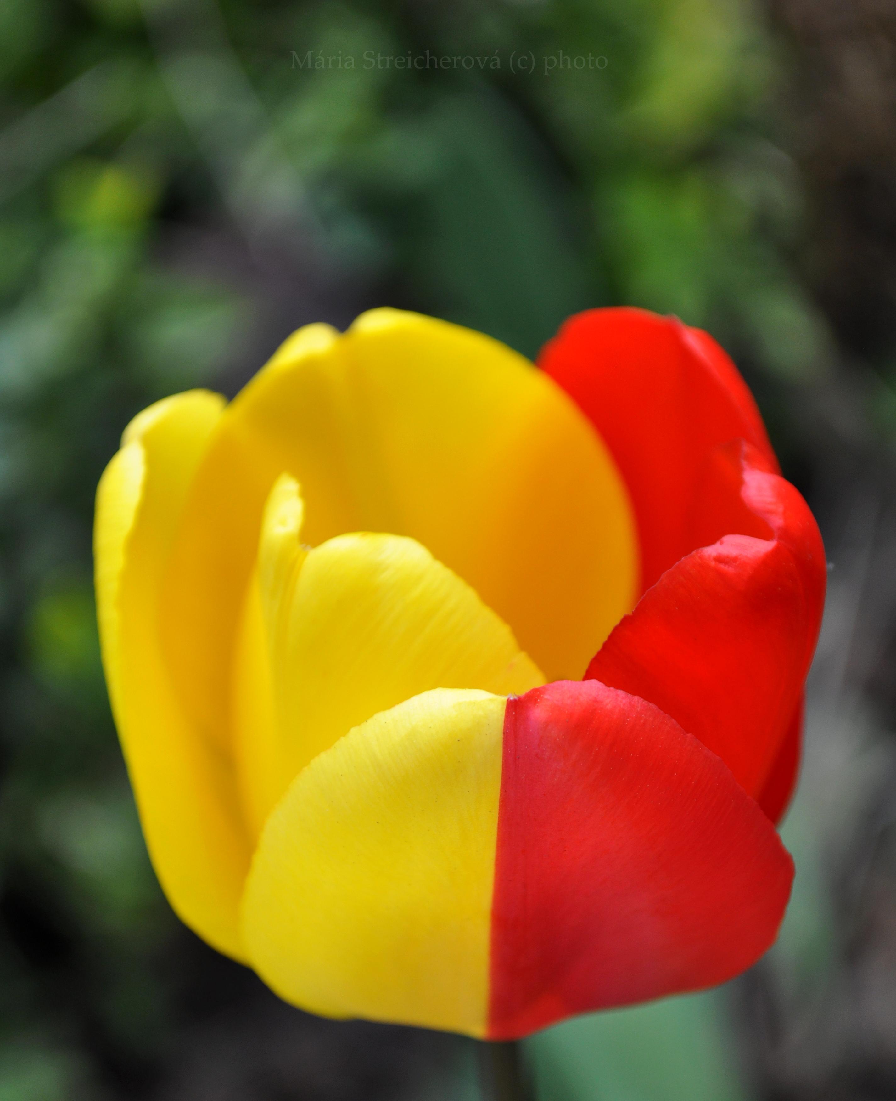 Dvojfarebný tulipán