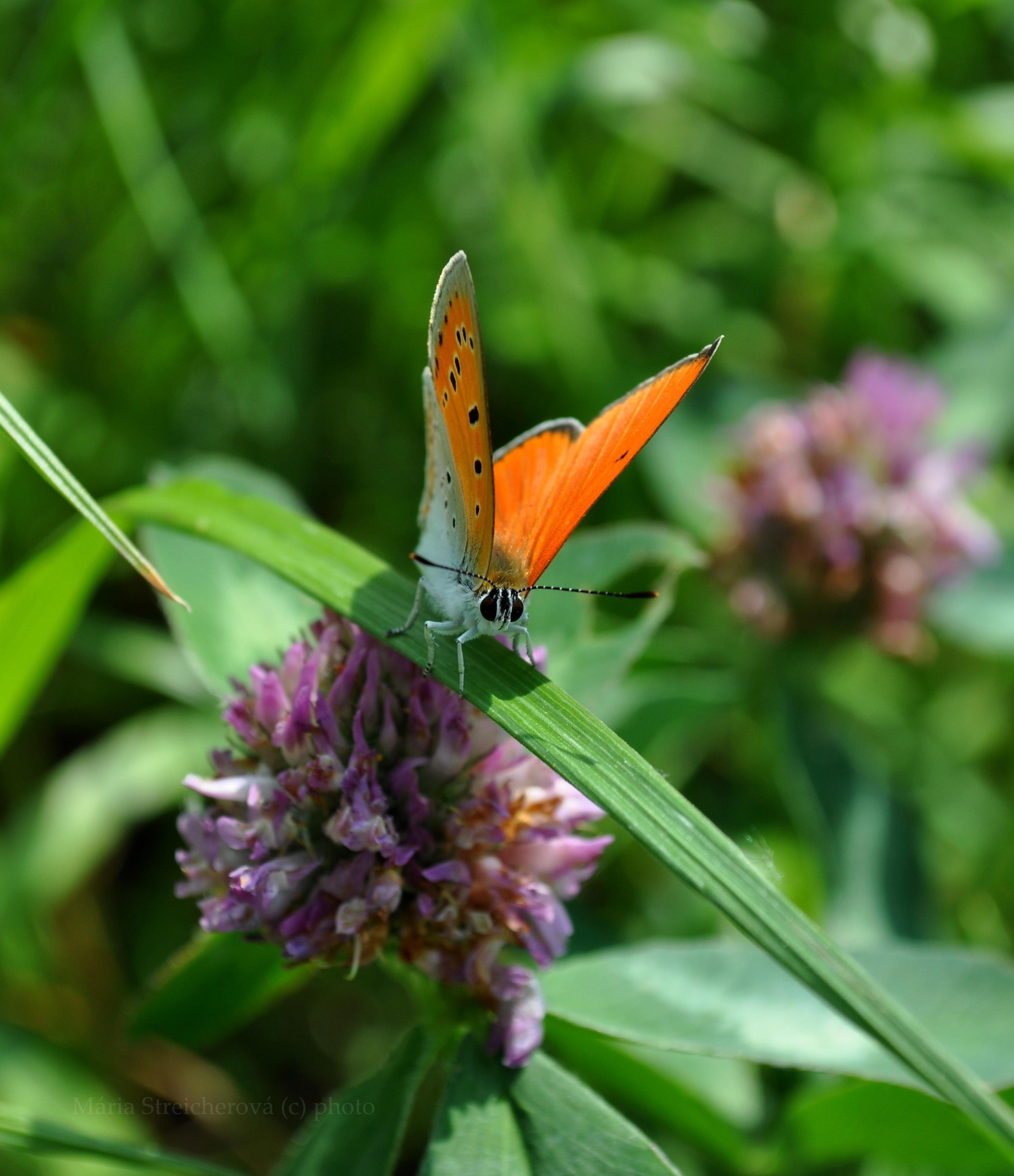 Oranžový motýľ na zelenej trávičke.
