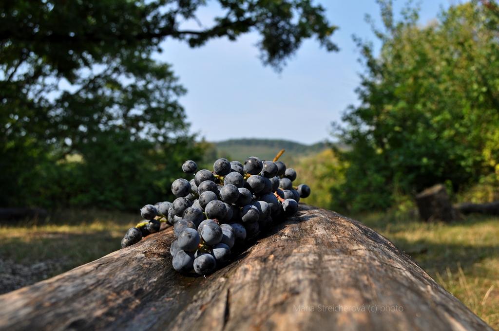 Strapec tmavého hrozna, s kvapkami vody na bobuliach, položený na starom ošúpanom kmeni stromu. V pozadí stromy a krajina so zelenými vinohradmi.