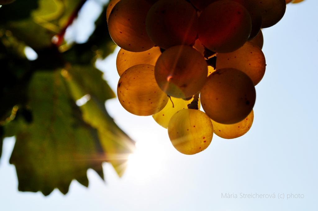 Priesvitné medovožlté bobule hrozna s protisvetlom slnka.