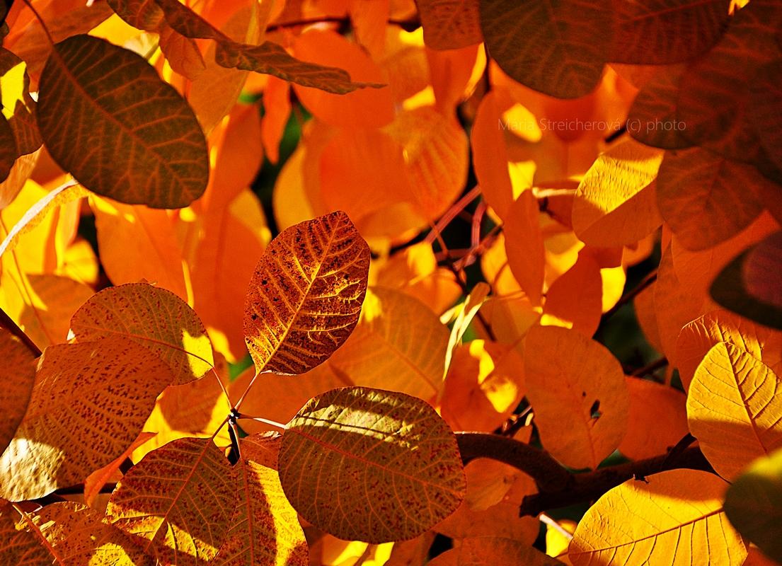 Žlto, oranžovo, hnedo sfarbené listy snímané odspodu, v protisvetle slnka, s basreliéfnou štruktúrou žilkovatiny na rube listu.