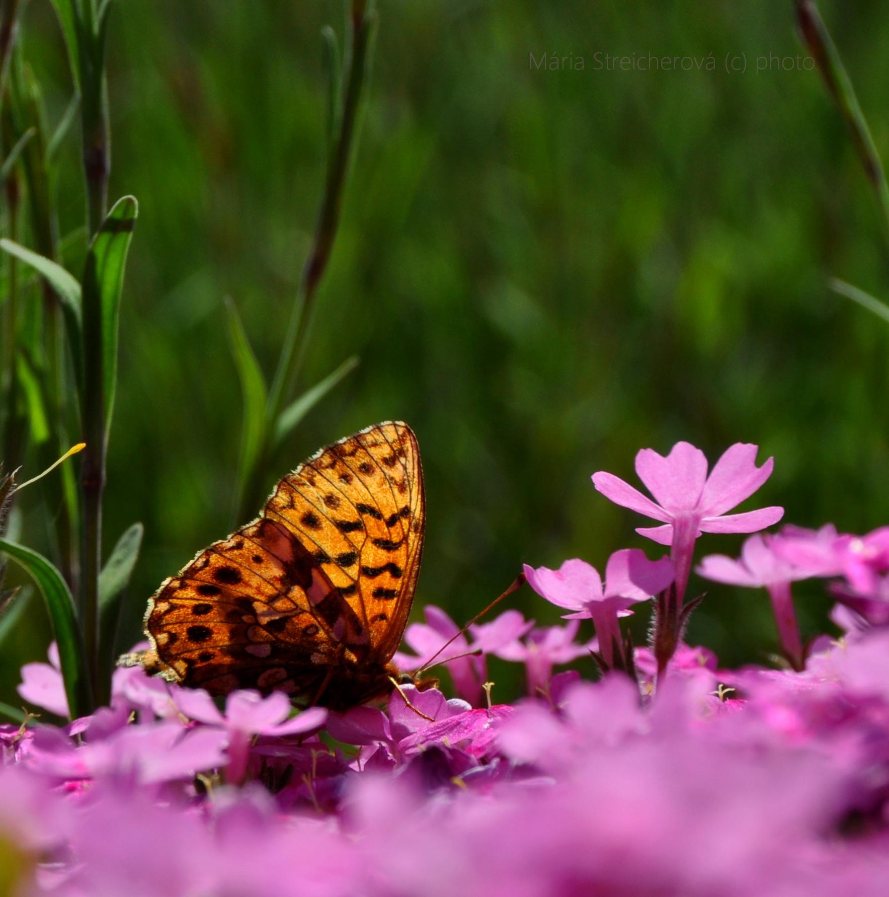 Oranžový motýľ na ružových kvetoch floxu.