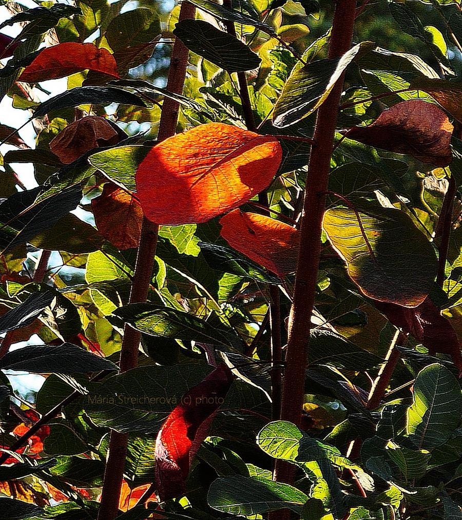 Oranžové, čerrvené a zelené jesenne sfarbené listy na bordových konároch okrasného kríka v protisvetle slnečných lúčov.