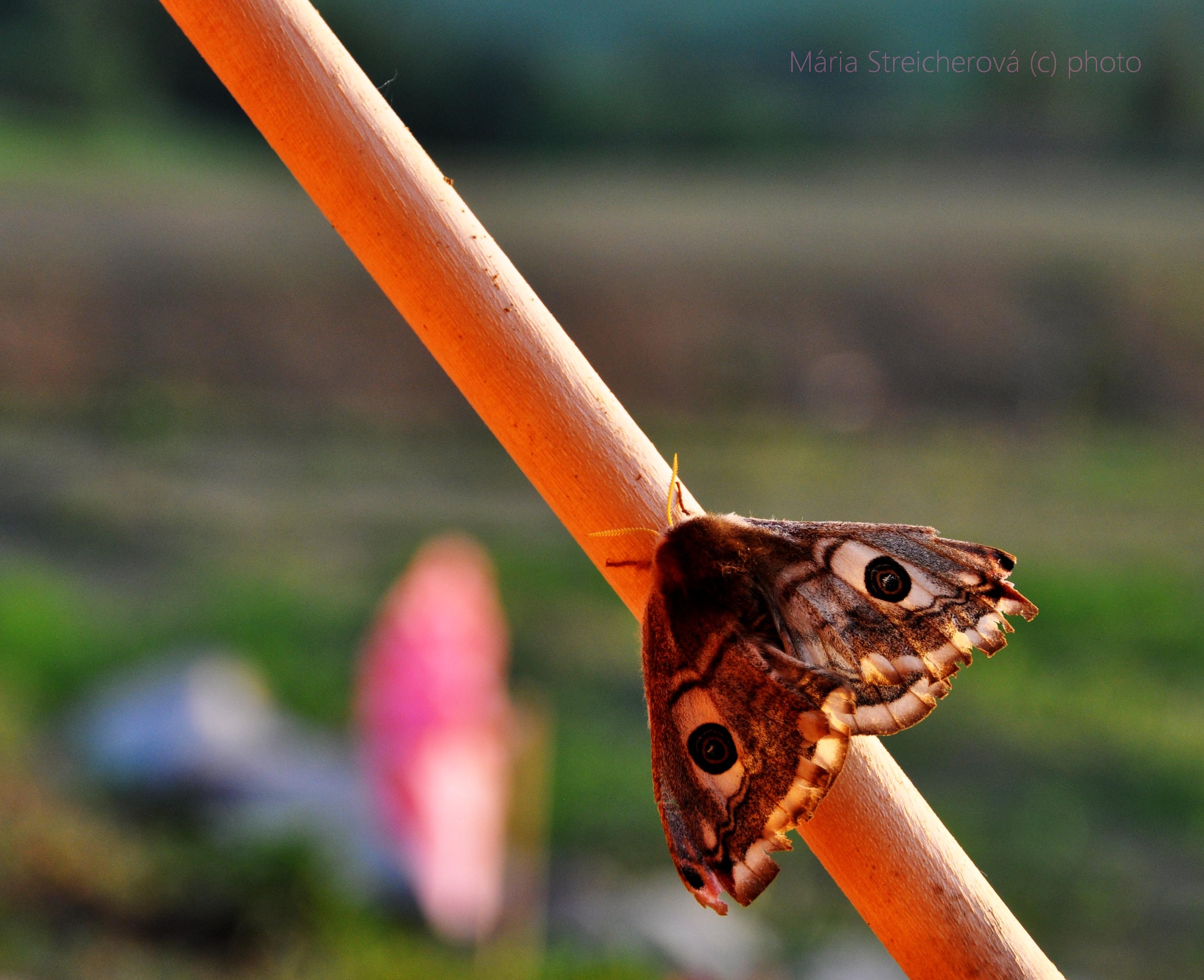Spiaci nočný motýľ, vo dne, na drevenej paličke.