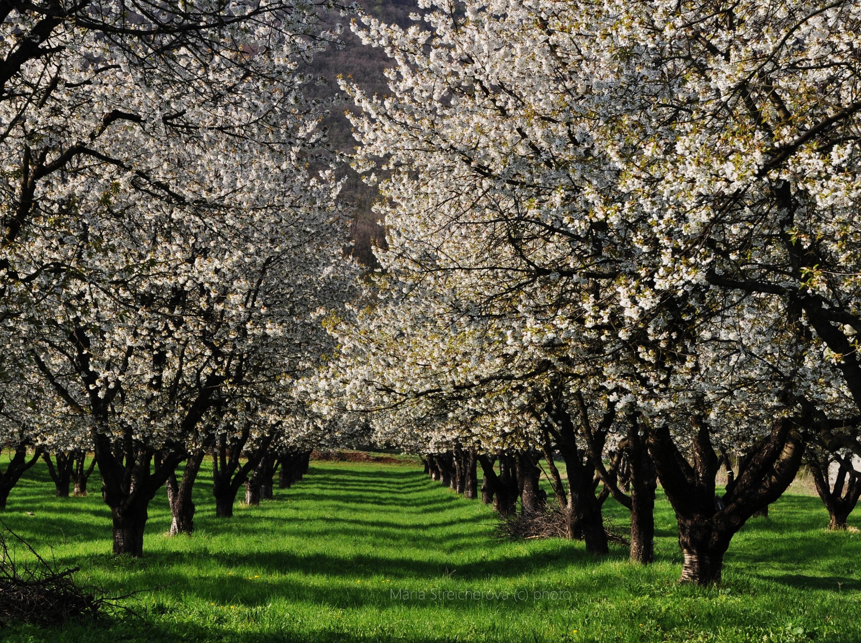 Kvitnúce stromy v čerešňovom sade, jarná zelená tráva pod stromami