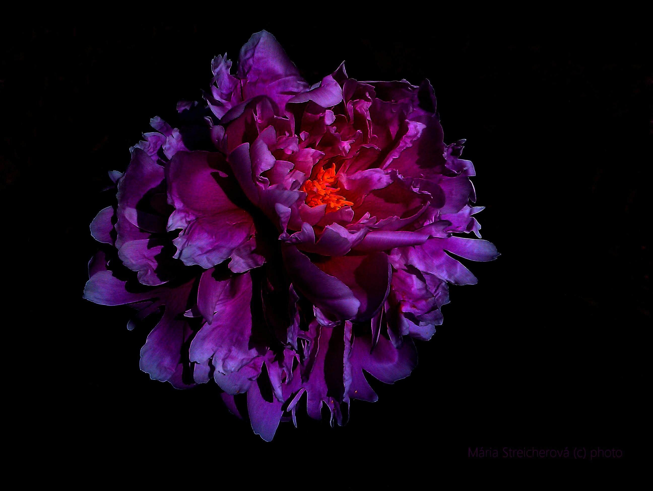 Kvet naplno rozvitej pivónie, fialovo cyklámenovej farby, so žltými peľovými tyčinkami v strede kvetu. Na čiernom pozadí.