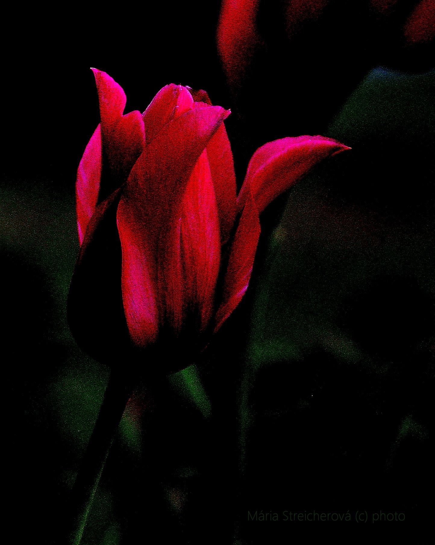 Tmavoružový tulipán
