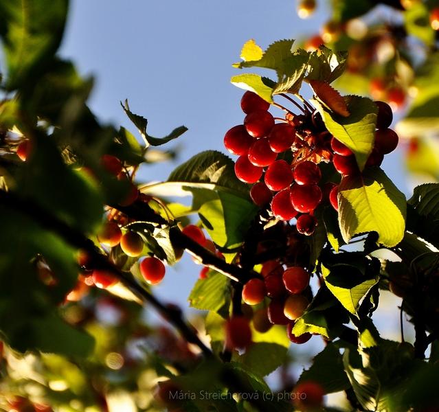 Vetvička s dozretými červenými čerešňami a zelenými listami, nasvietená lúčmi zapadajúceho slnka.