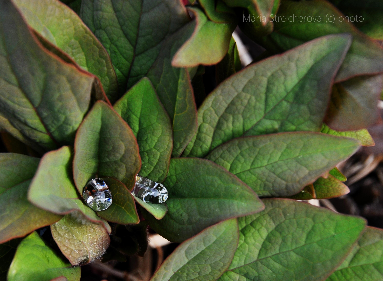 Krištáľovoo číre kvapky rosy na zelených listoch pivónií.