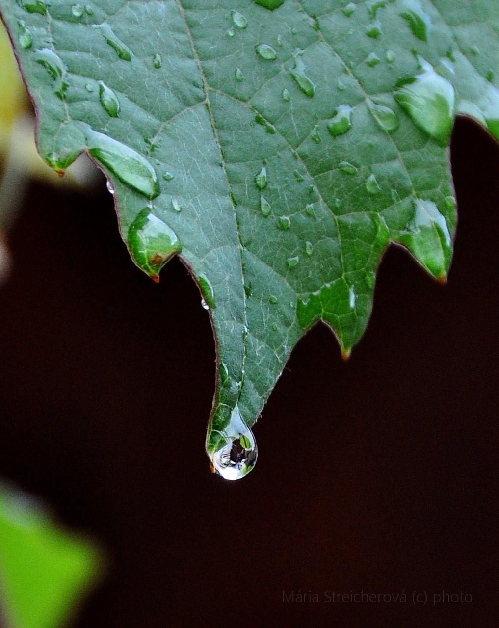 Kvapka vody na spodnom cípe zeleného listu viniča.