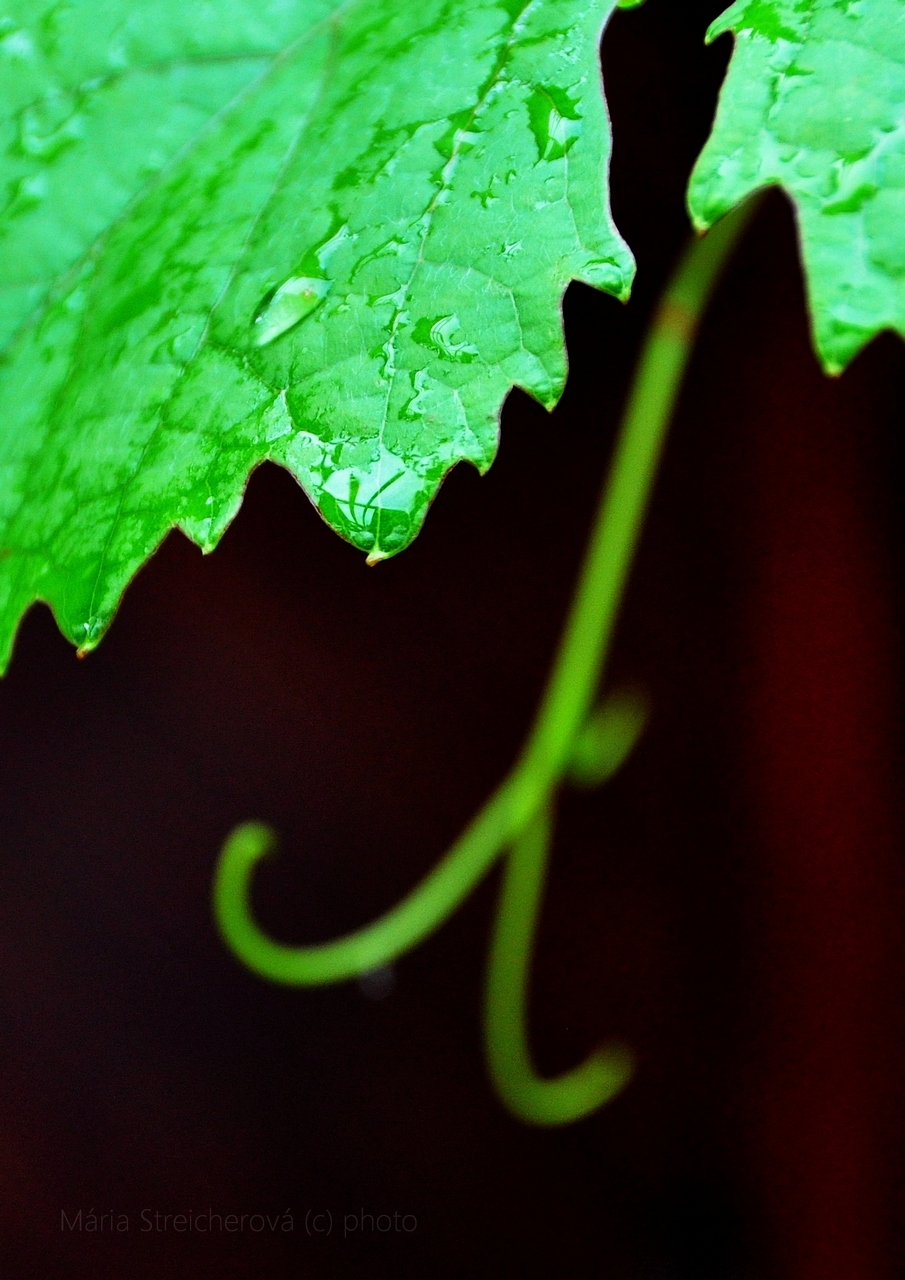 Kúsok zeleného listu viniča s kvapkami dažďovej vody a úponkom v pozadí.