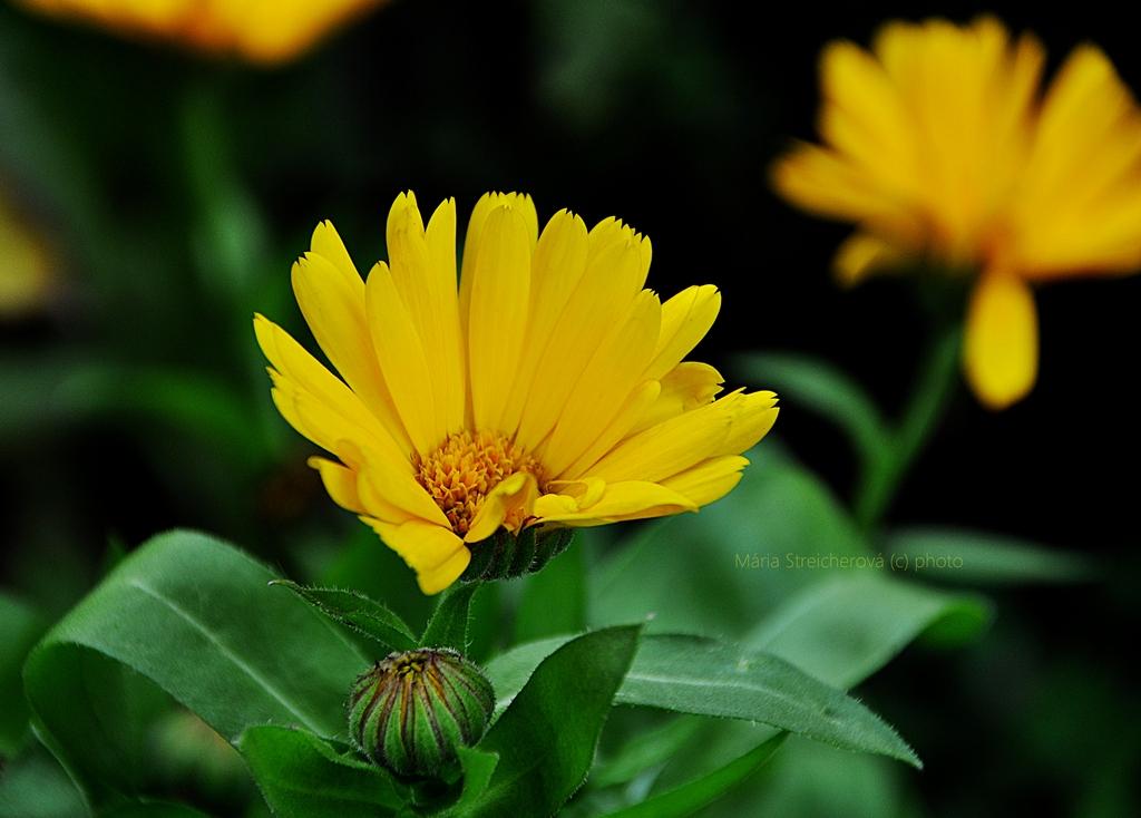 Kvet a puk žltého nechtíka v záplave zelene listov.