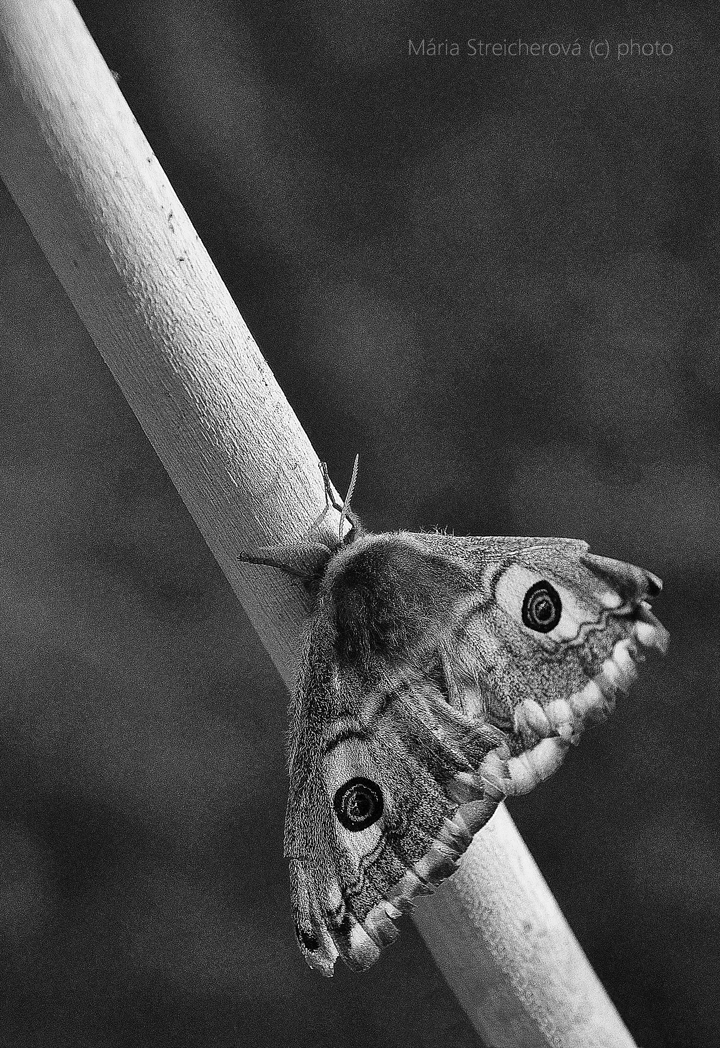 Čiernobiely záber spiaceho nočného motýľa