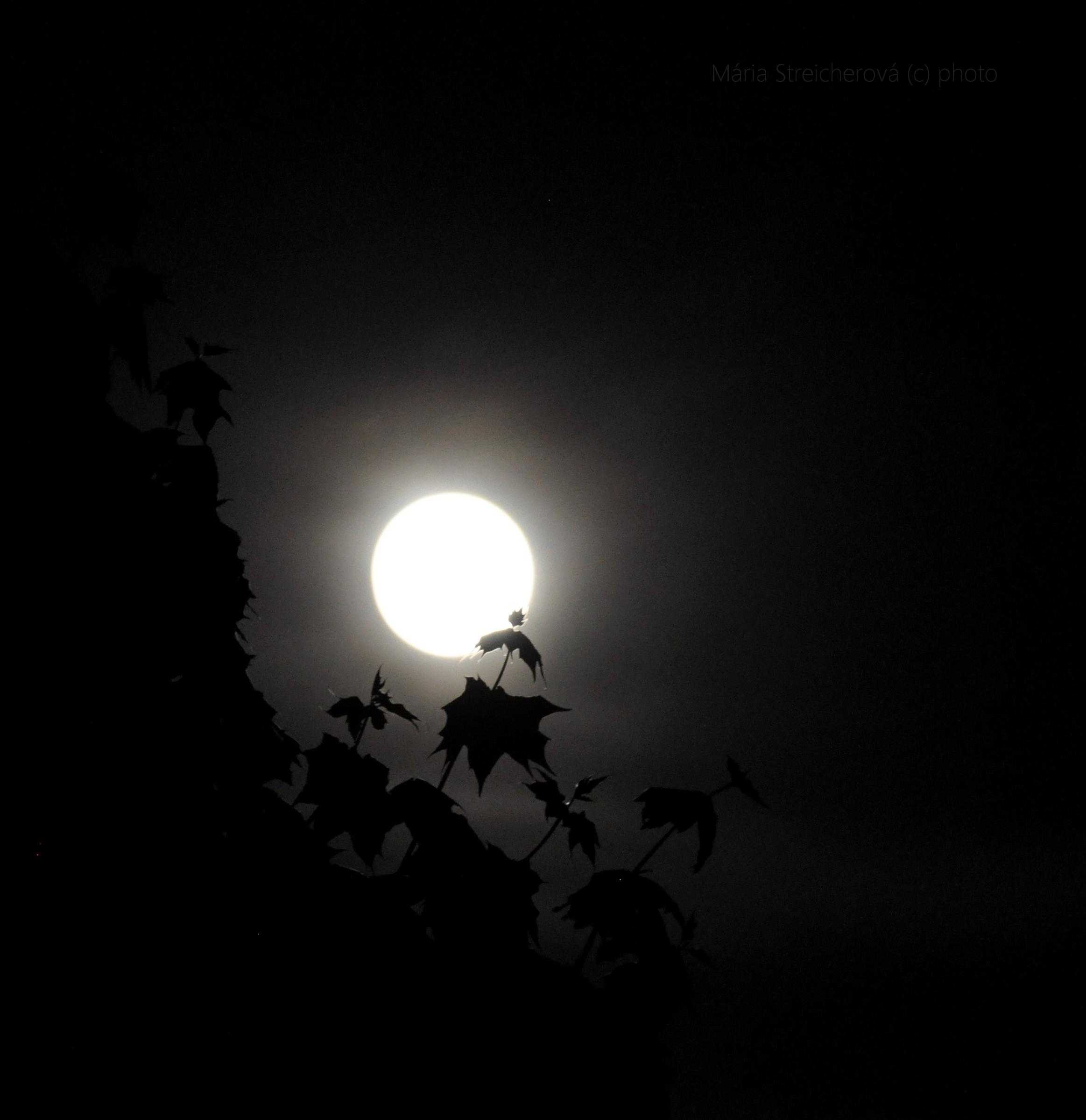 Čiernobiely záber splnového mesiaca za javorovými listami.