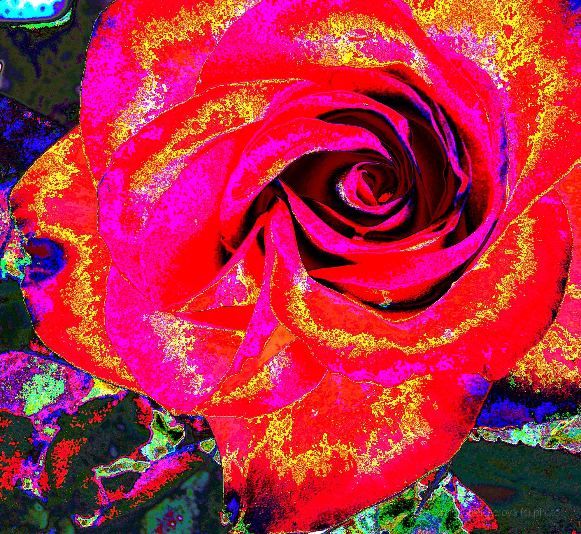 Štylizovaný, graficky upravený, kvet rozvitej šípovej ruže v odtieňoch červenej.