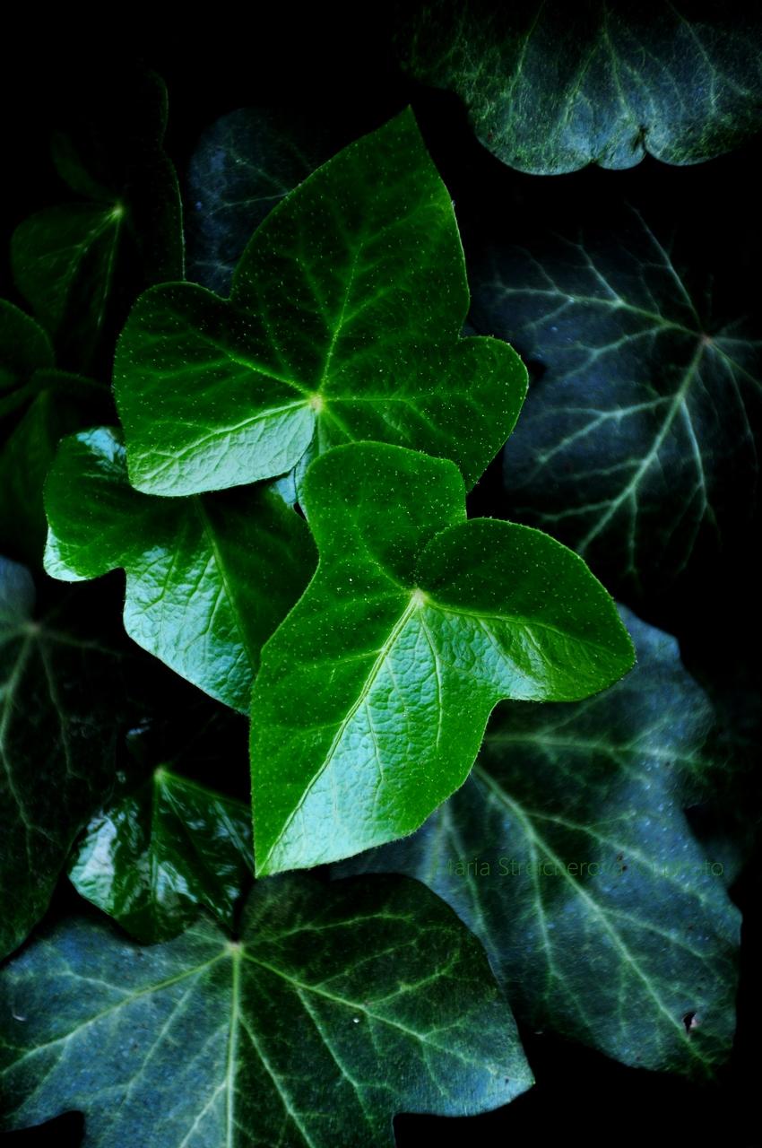 Sýtozelené srdiečkovité listy brečtanu kompozične sami sebe naklonené.