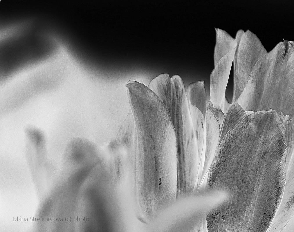 Lupienky tulipánov v čiernobielej úprave.