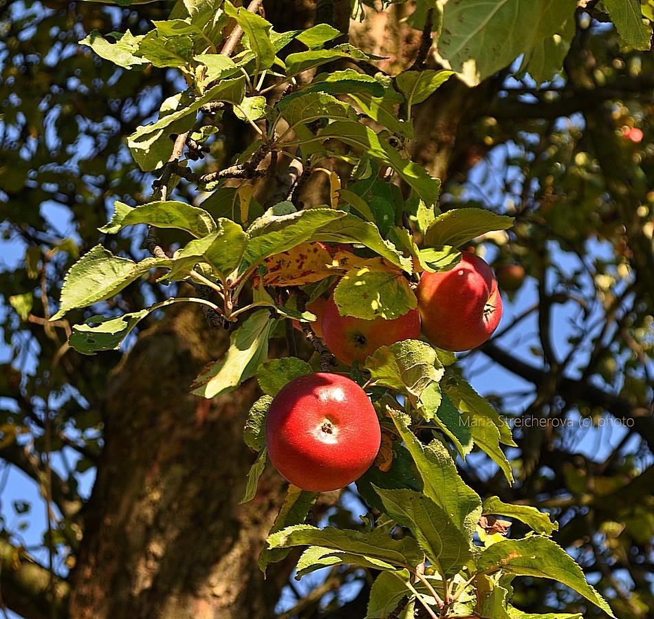Červené jablká starej odrody na starom stromeso zeleným lístím.