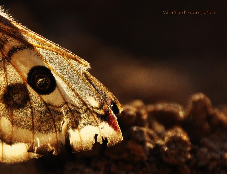 Krídlo nočného motýľa poznačené životom.