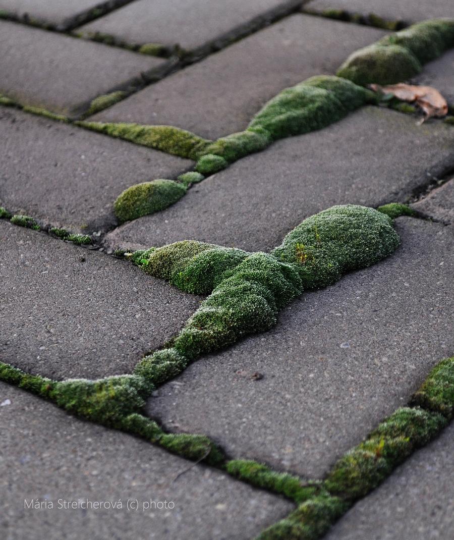 Detailný záber betónovej dlažby s hustým porastom huňatého zeleného machu v špárach medzi dlažbovými kockami.