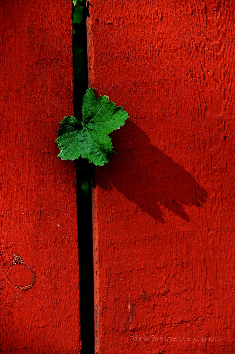 Zelený list ríbezľového kríka vykúkajúci špárou medzi latami červeného plota.