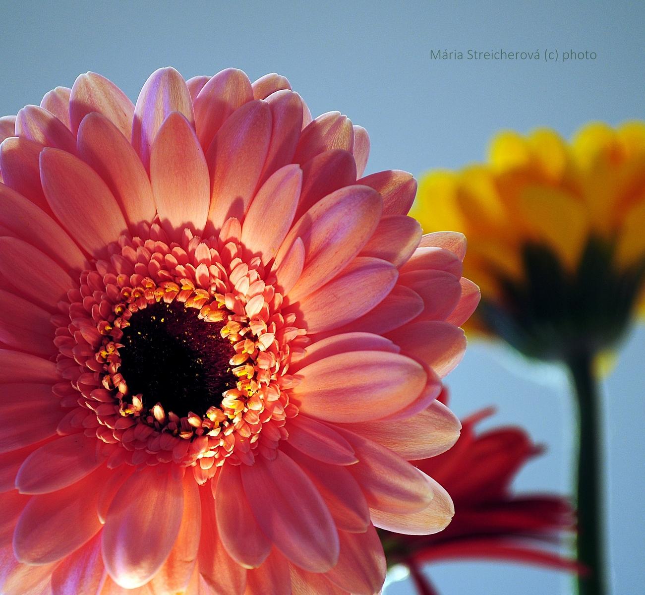 Detail kvetu ružovej gerbery, v pozadí žltý a červený kvet.